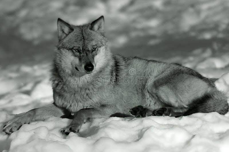 wolf för eurasiansnowvinter arkivbilder