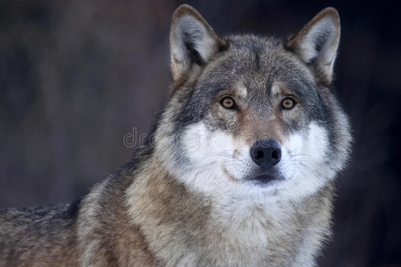 wolf för lupus för caniscloseup grå arkivfoton