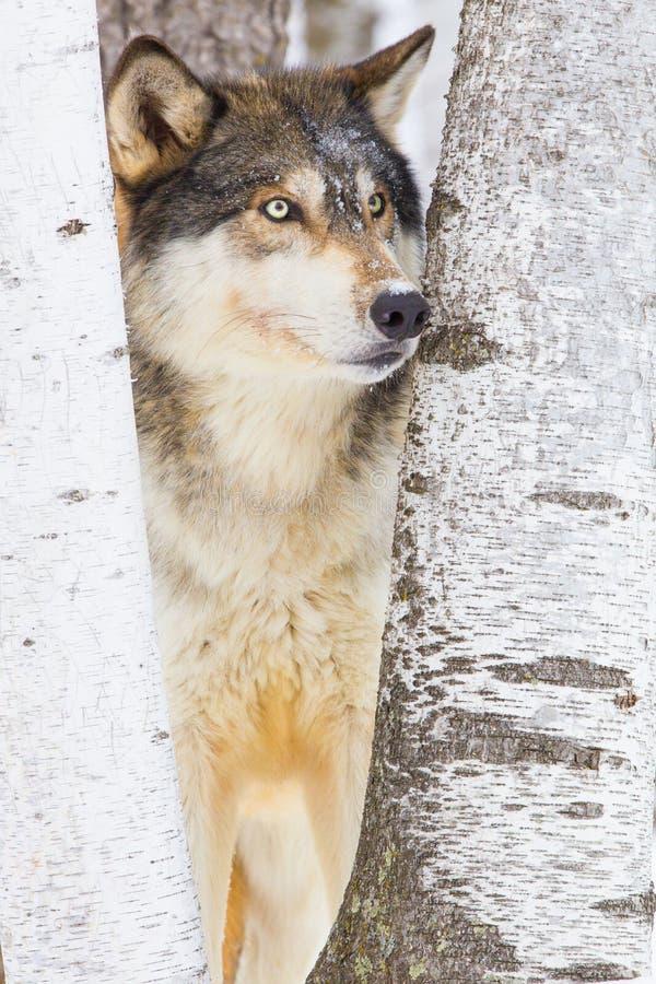 wolf för vinter för minnesota nordlig ståendetimmer arkivbild