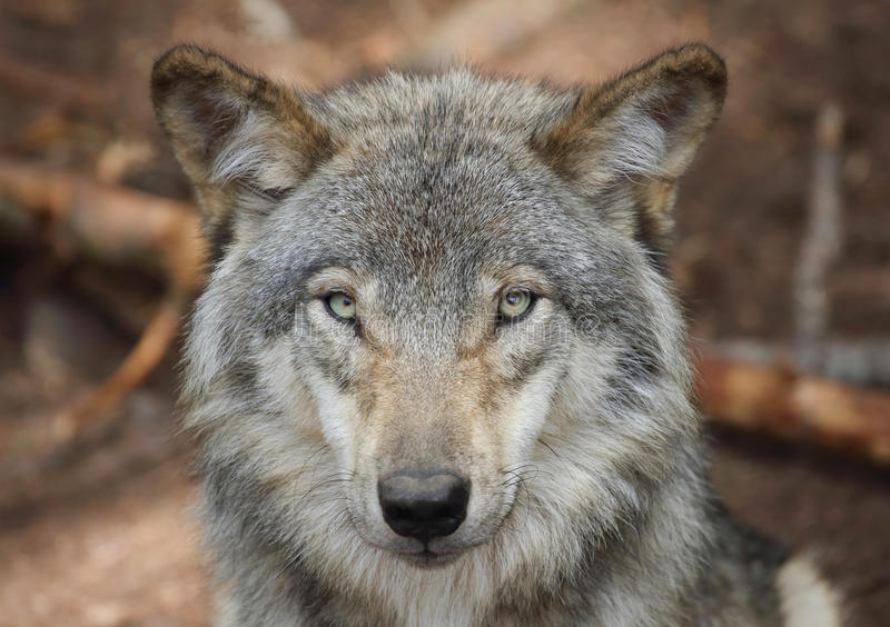 Wolf face in forest royalty free stock photos