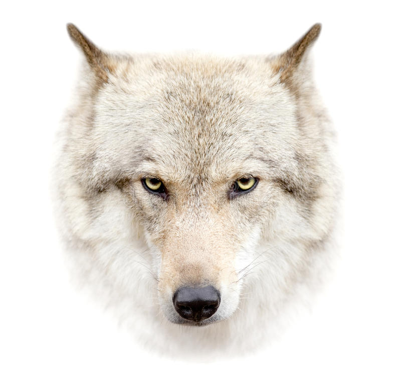 Wolf face on white background. The wolf face on white background