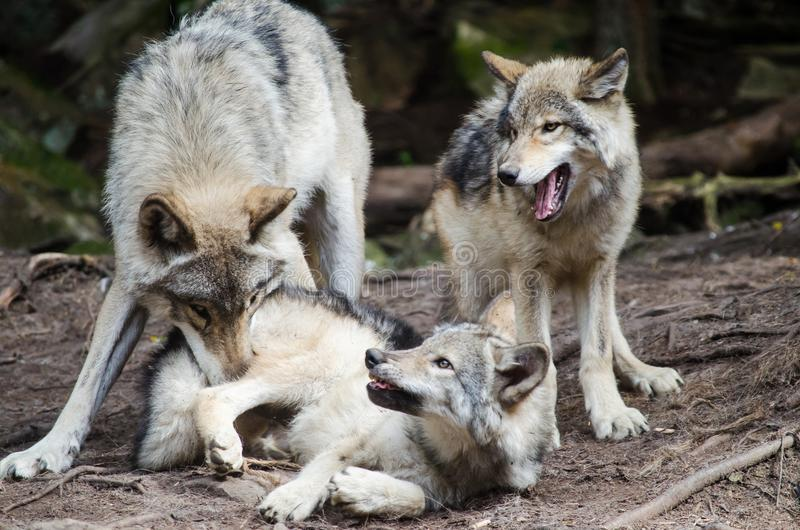 Wolf Family Playing foto de stock
