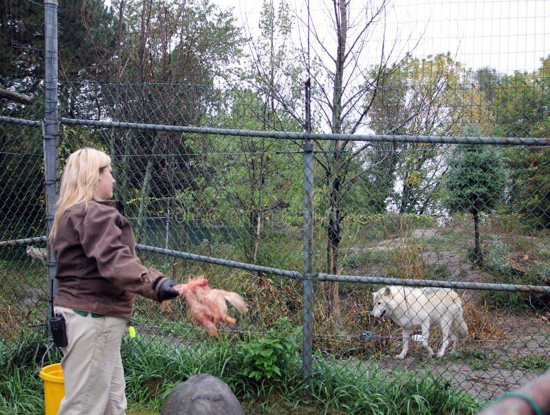 Wolf Feeding royaltyfri bild