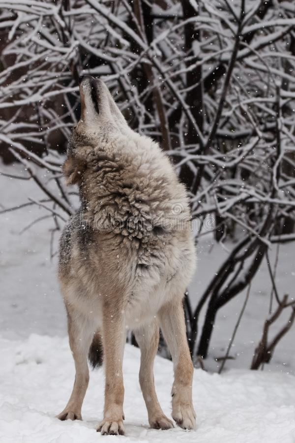 The wolf female wolf gracefully raises its face upward under the falling snowflakes, about to howl, under the snowfall, a royalty free stock image