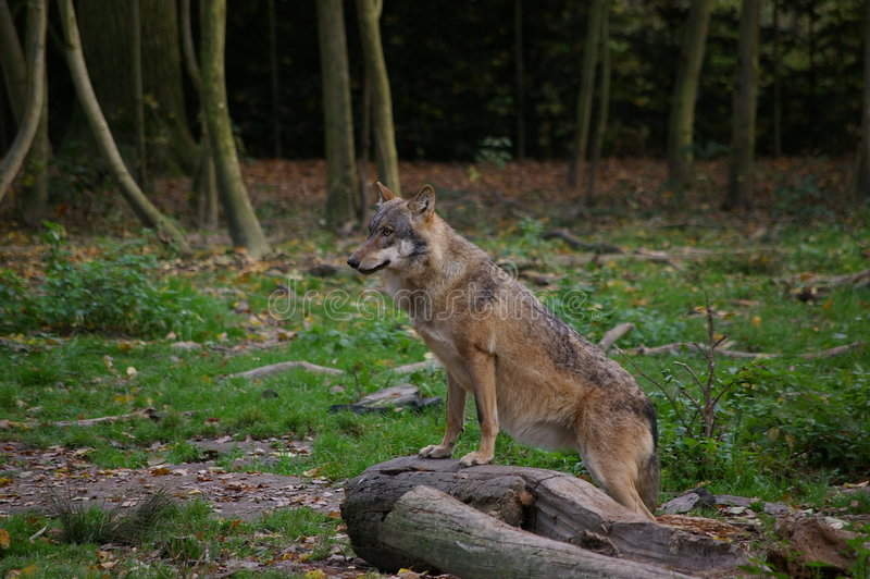 Wolf in forest stock images