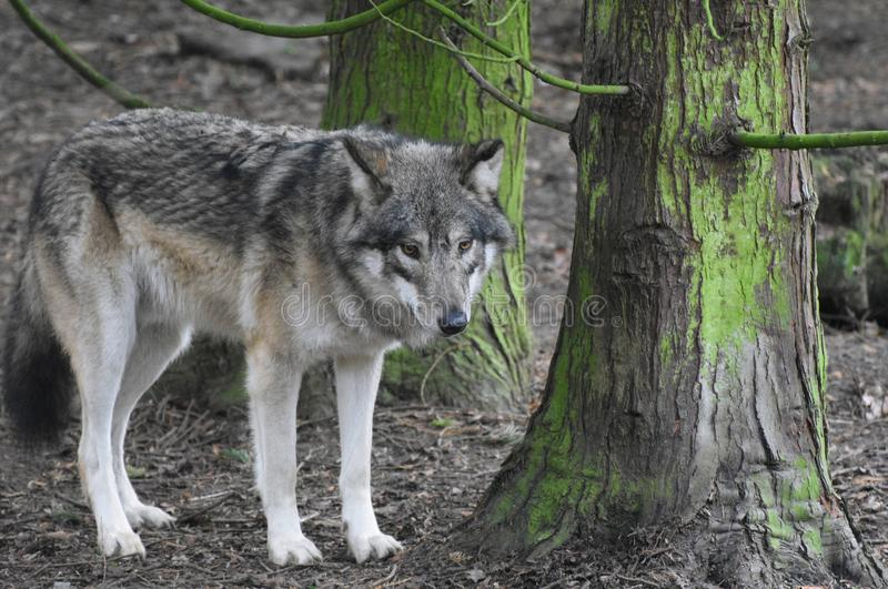 Wolf in the Forest. A Eurasian lone wolf staring while it stands amongst trees in a forest stock photos
