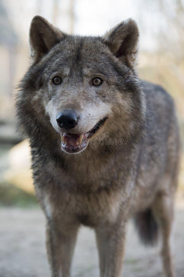 Wolf in Gaiapark lizenzfreie stockfotos