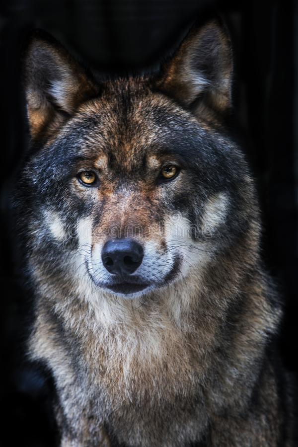 Wolf, Grey Wolf, Canis-wolfszweer stock afbeeldingen