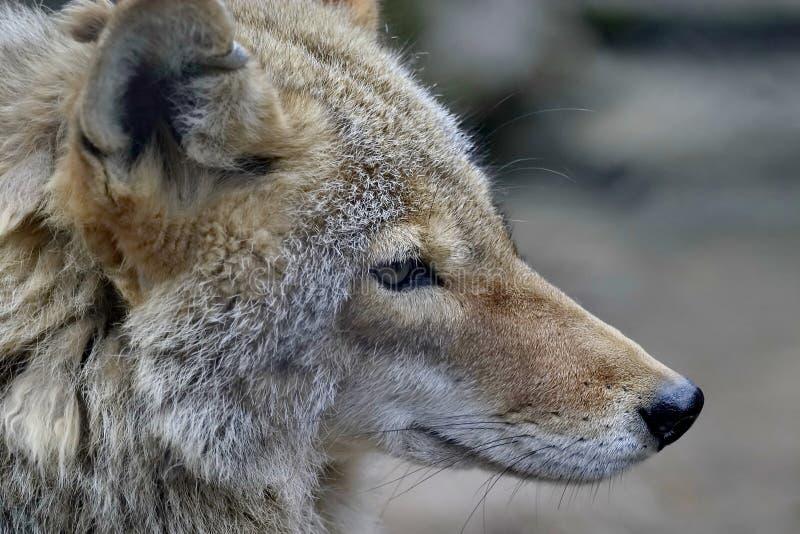 Wolf, of grijze wolf, of gewone wolf Lat Canis Lupus Wolf - één van de grootste moderne dieren in zijn familie royalty-vrije stock afbeelding