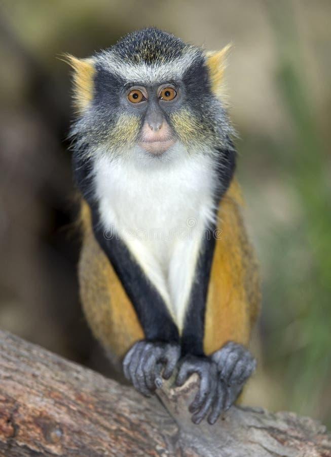 Free Wolf Guenon Monkey, Africa Big Eyed Gremlin Royalty Free Stock Images - 13761609