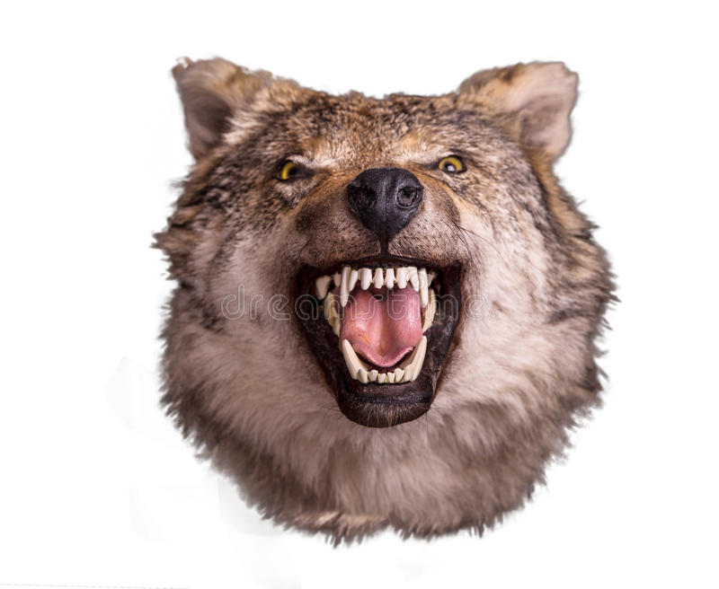 Wolf head with angry face on white background royalty free stock image