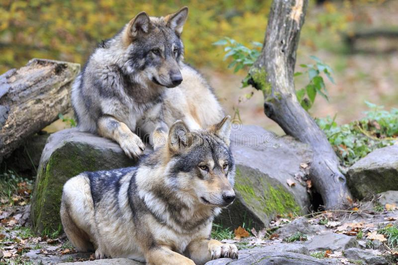 Wolf in het bos stock foto