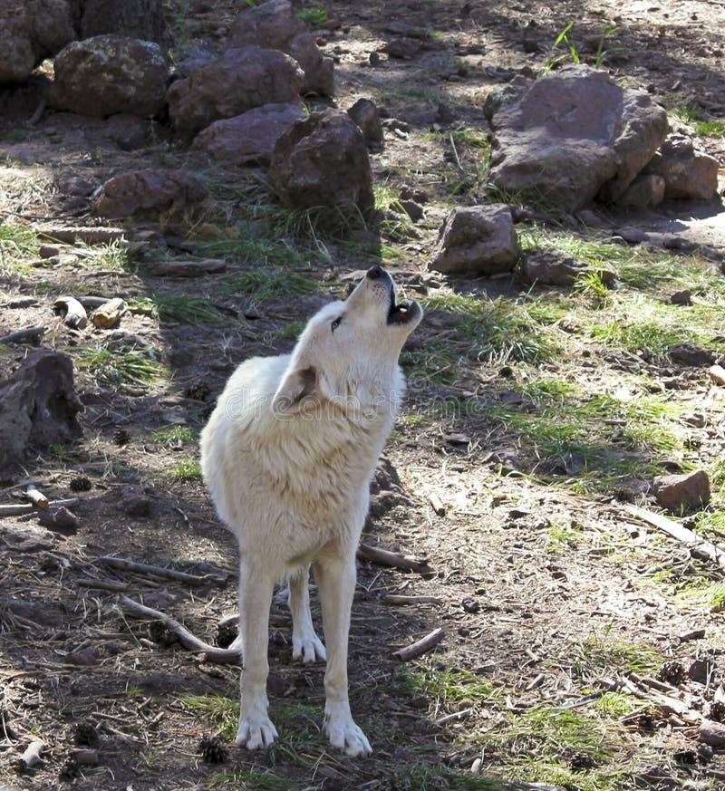 Wolf Howling arctique dans la forêt image stock