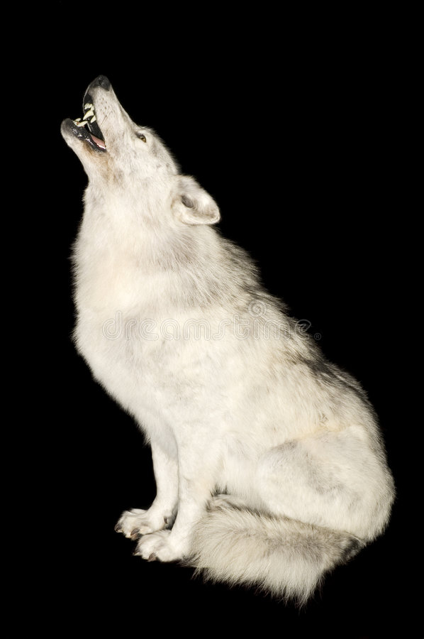 Wolf howling isolated over black. Taxidermied Wolf howling isolated over black royalty free stock photo