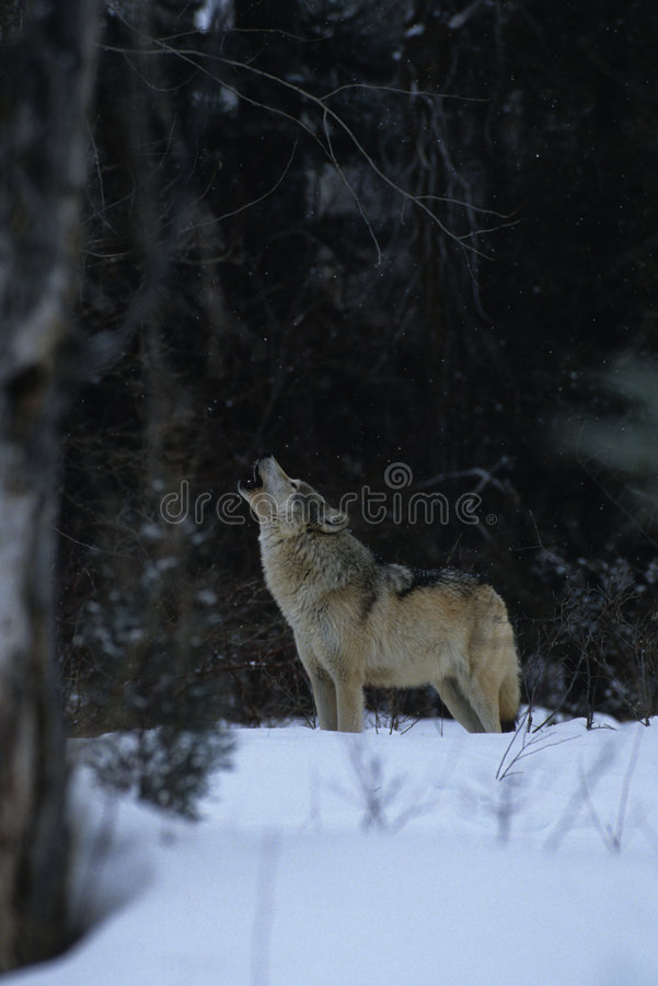 Download Wolf Howling in Snow stock photo. Image of predator, wolves - 8868484