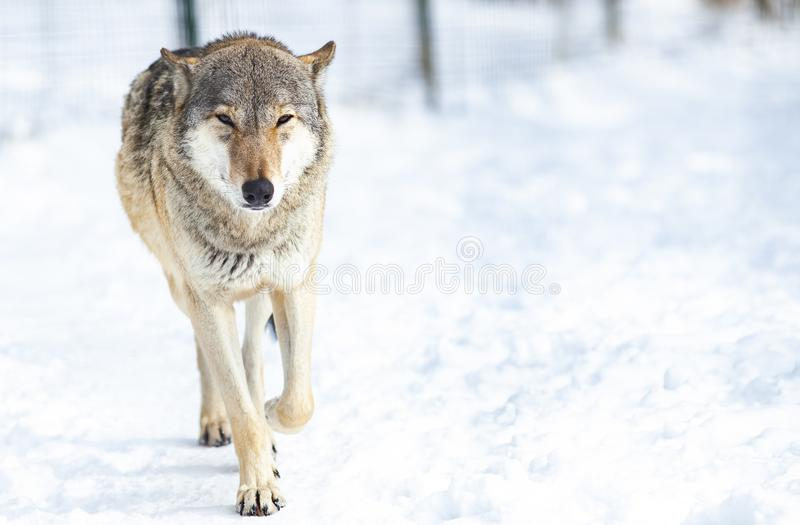 Wolf i snow arkivfoto