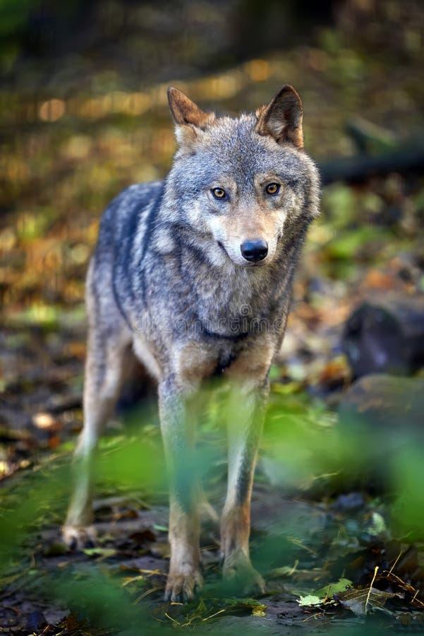 Wolf im Herbstwald lizenzfreies stockfoto