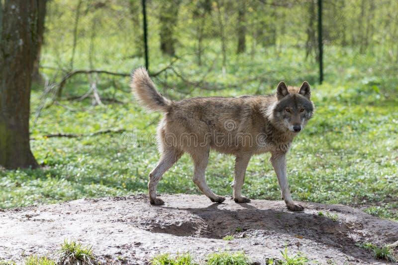 Wolf im Wald lizenzfreie stockbilder