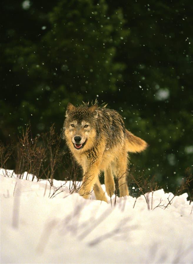 Wolf im Winter lizenzfreies stockfoto