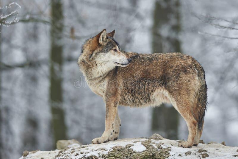 Wolf im Winter lizenzfreie stockfotografie