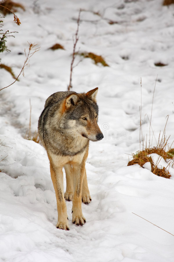 Free Wolf In The Snow Stock Photos - 8431803