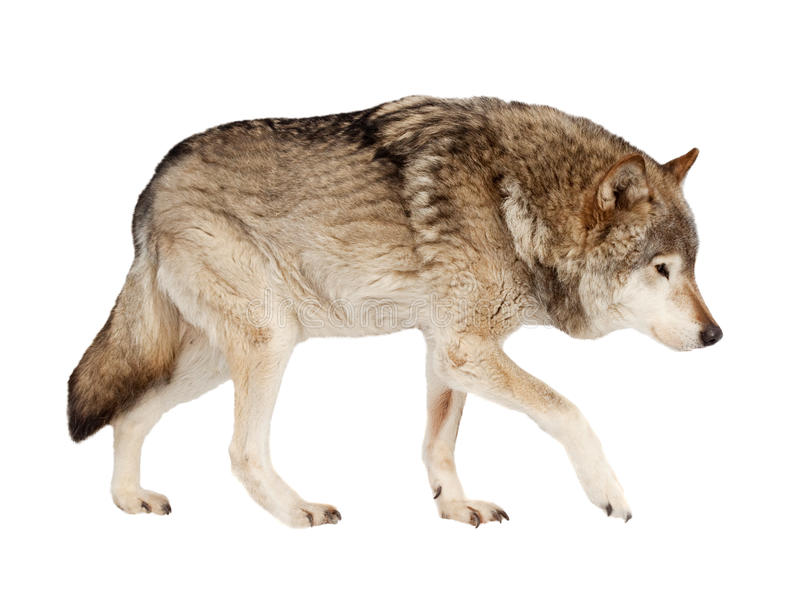 Wolf. Isolated over white. Background royalty free stock image