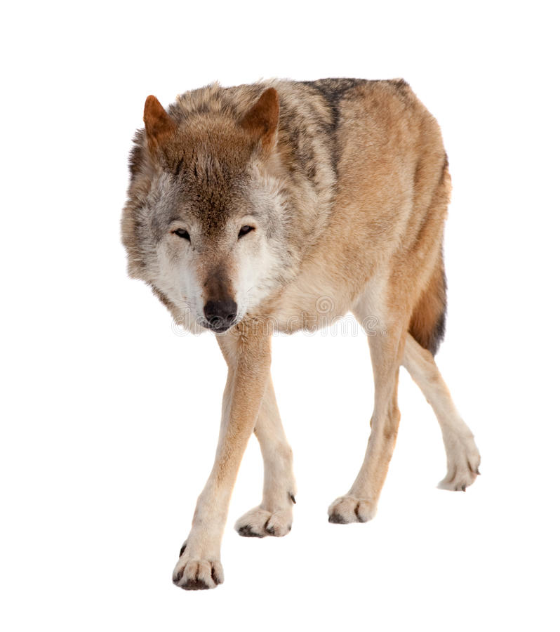 Wolf. Isolated over white. Wolf (Canis lupus). Isolated over white background royalty free stock photo