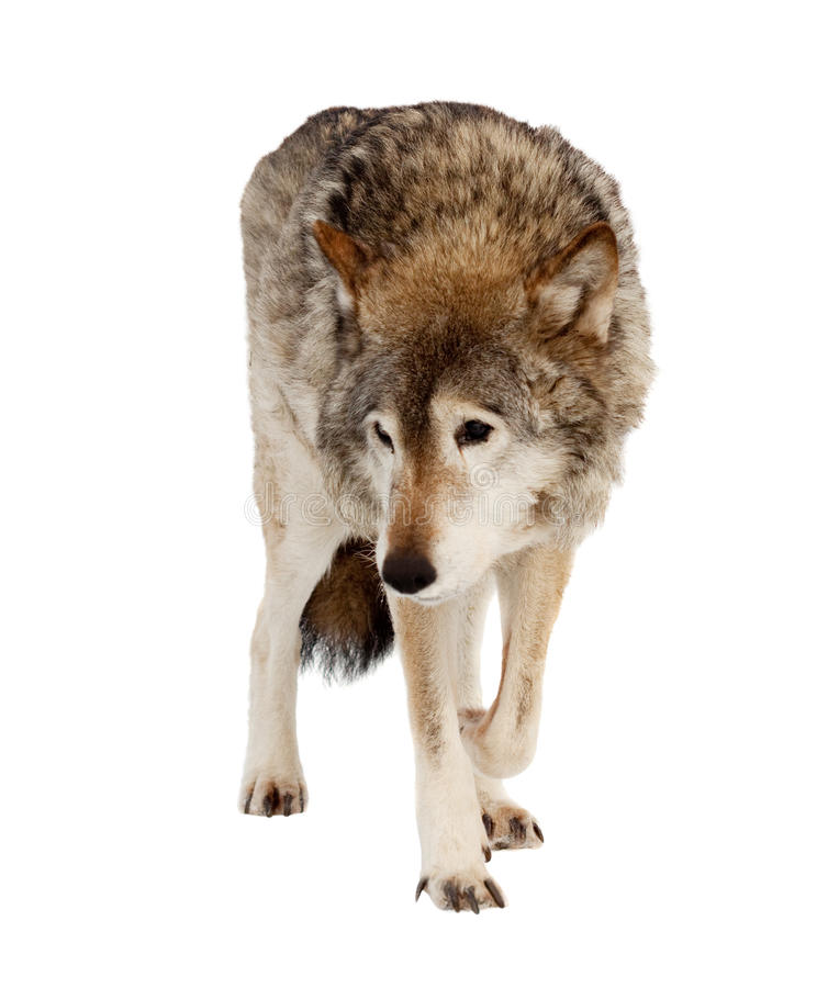 Wolf. Isolated over white. Wolf (Canis lupus). Isolated over white background royalty free stock images