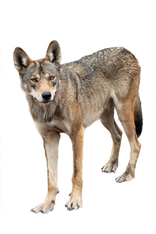 Wolf isolated on white. Background royalty free stock photo
