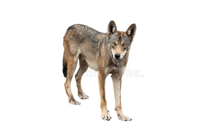 Wolf isolated on white. Background royalty free stock images