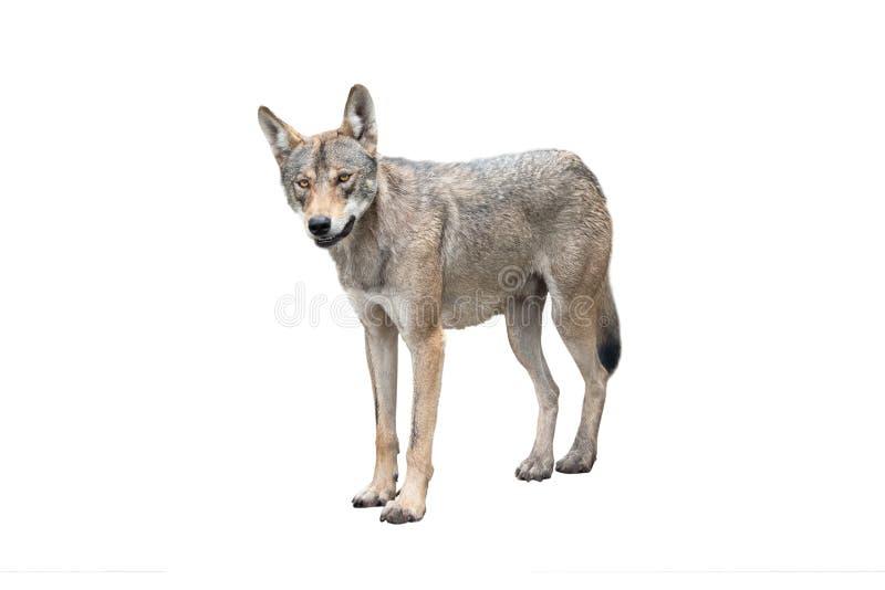 Wolf isolated on white. Background stock photos