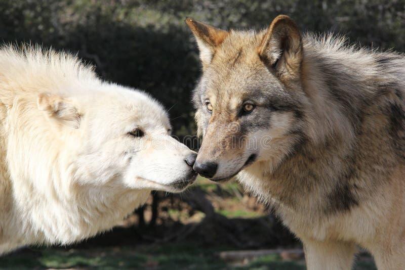 Wolf Kiss Alaskan Gray Timber-Wolven royalty-vrije stock fotografie