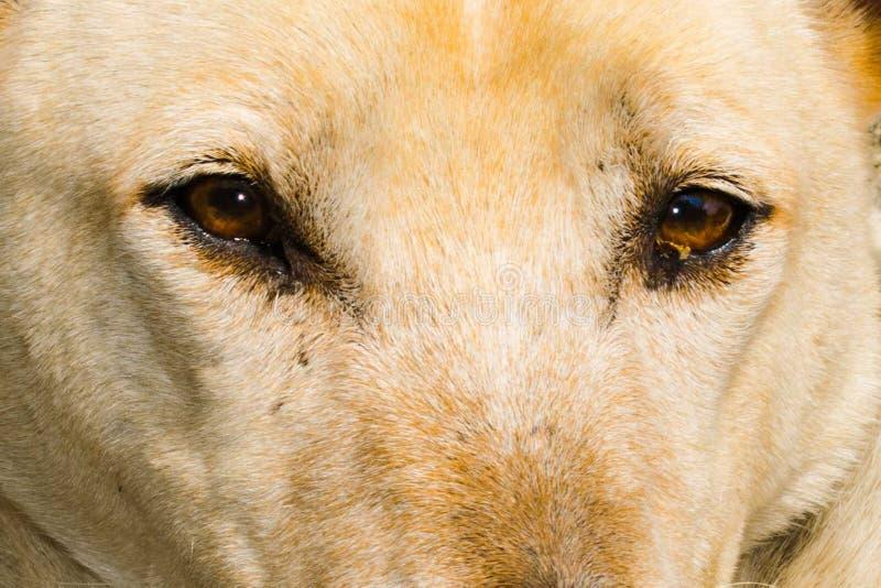 Wolf like dog breed, dog eyes, wolf eyes. Piercing brown eyes stock images