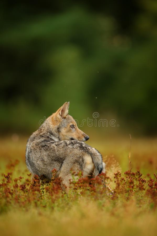 Free Wolf Looking Back In Yellow Grass Royalty Free Stock Image - 103916486