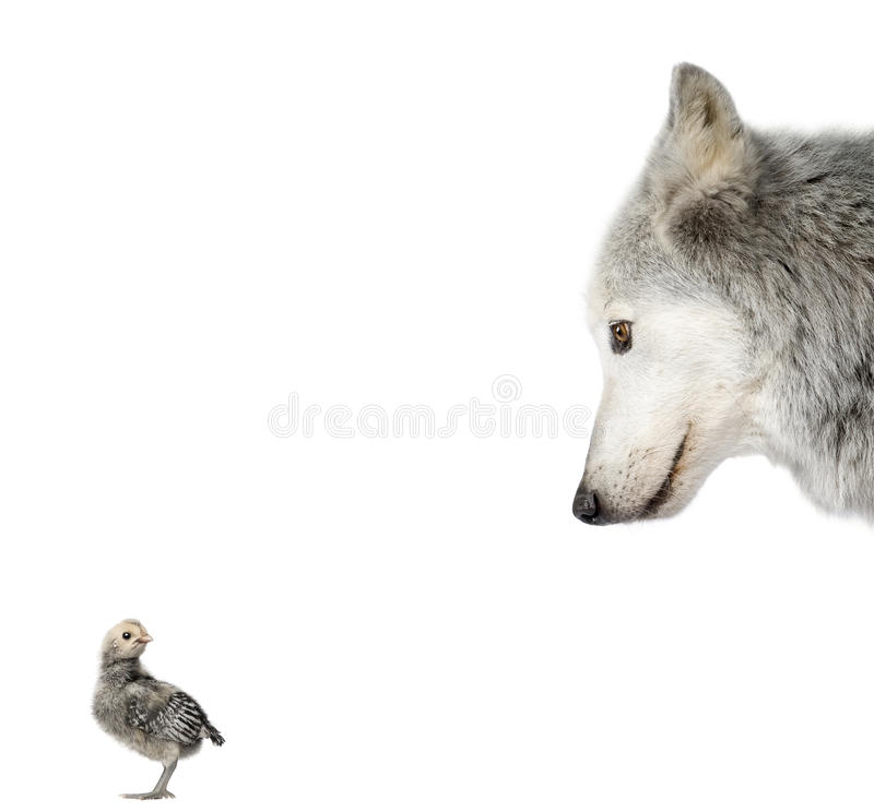 Wolf looking at a chick against white background stock photo