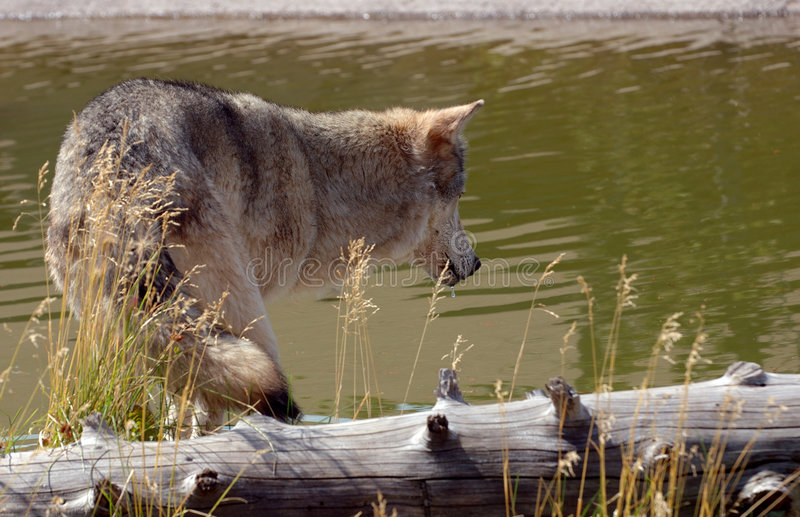 Download Wolf Looking into Pool stock photo. Image of grey, water - 269048