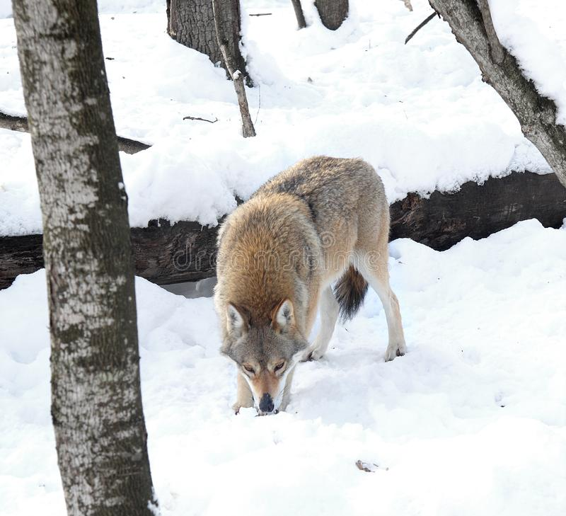 Wolf in the winter wood. The wolf looks for traces on snow stock image