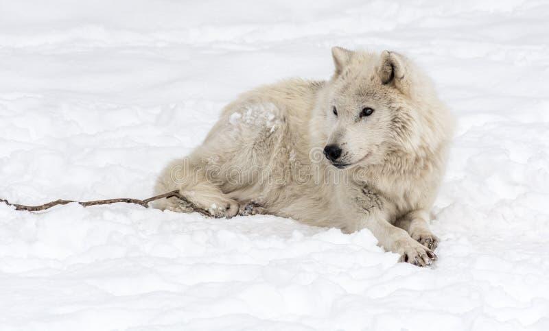 Wolf Lying ártico na neve imagem de stock royalty free