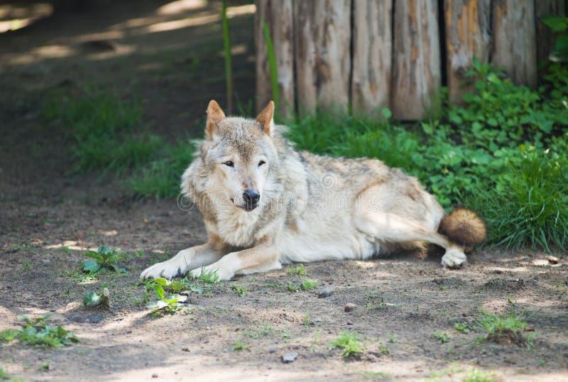 Wolf Lying Stock Image