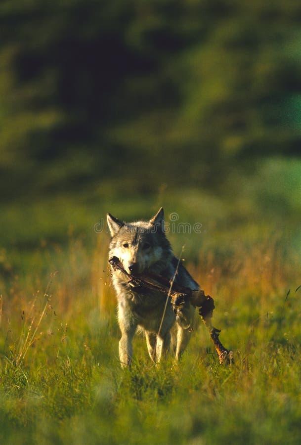 Wolf met het Been van de Kariboe stock foto