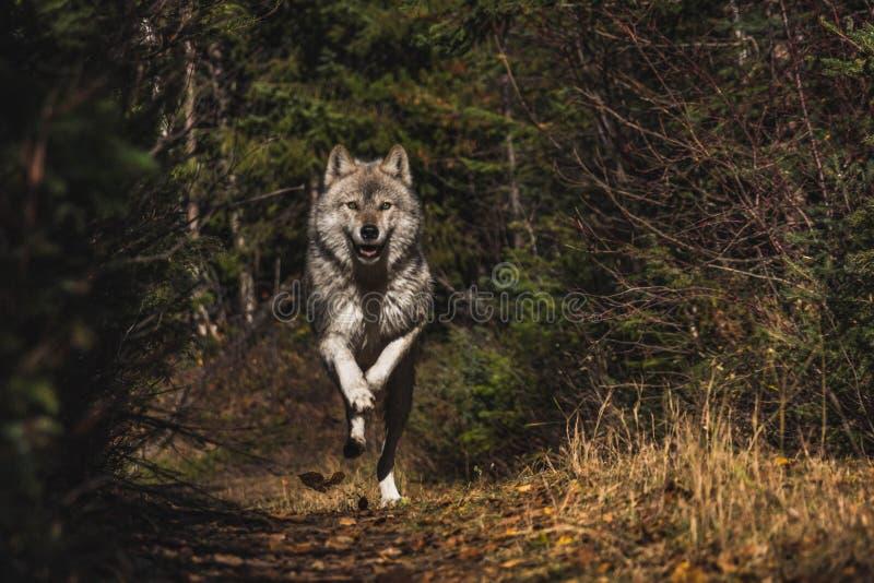 Wolf Mid Run foto de stock royalty free