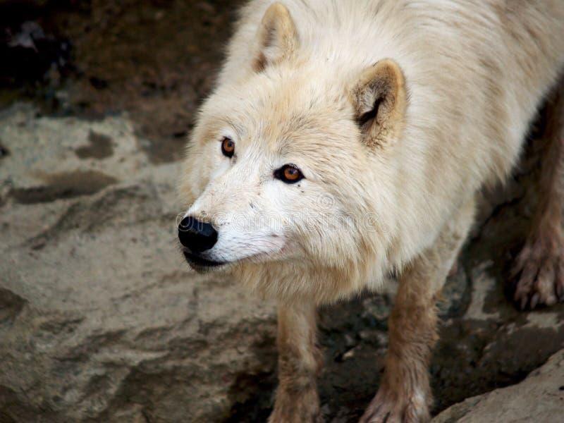 Wolf mit den orange Augen, die oben schauen lizenzfreies stockfoto
