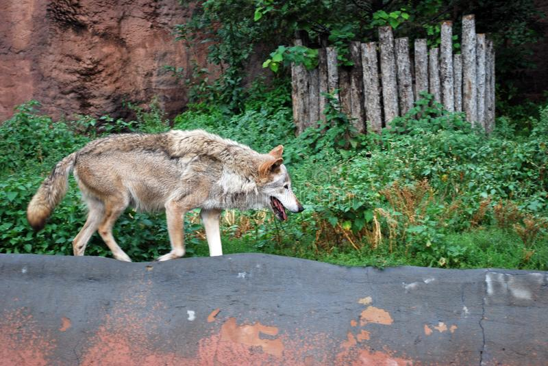 The wolf in Moscow Zoo suffers from a heat. royalty free stock image