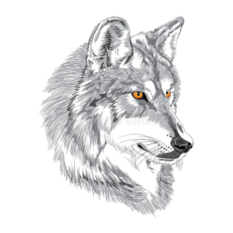 Wolf muzzle sketch. Wolf muzzle with yellow eyes sketch royalty free illustration