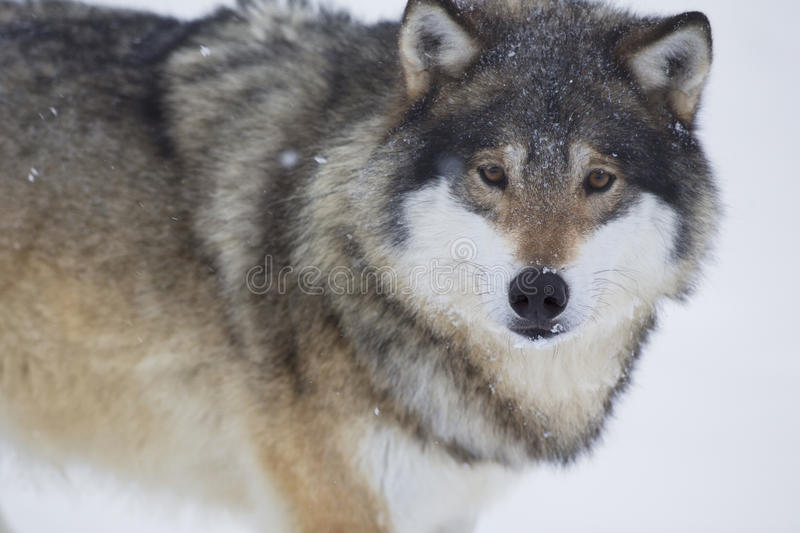 Download Wolf look in the Camera stock image. Image of norway - 29894685