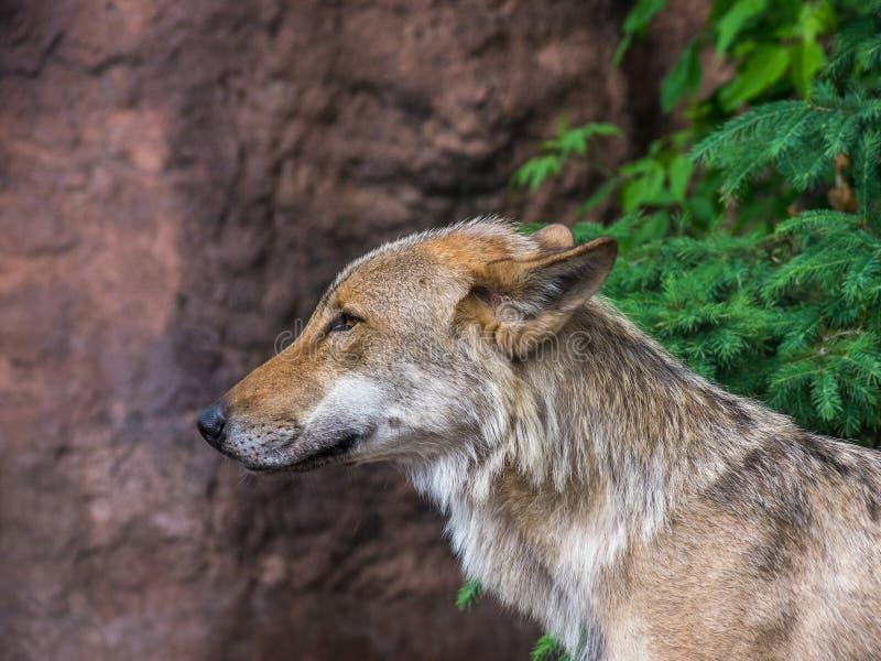 Wolf op Wacht royalty-vrije stock afbeeldingen