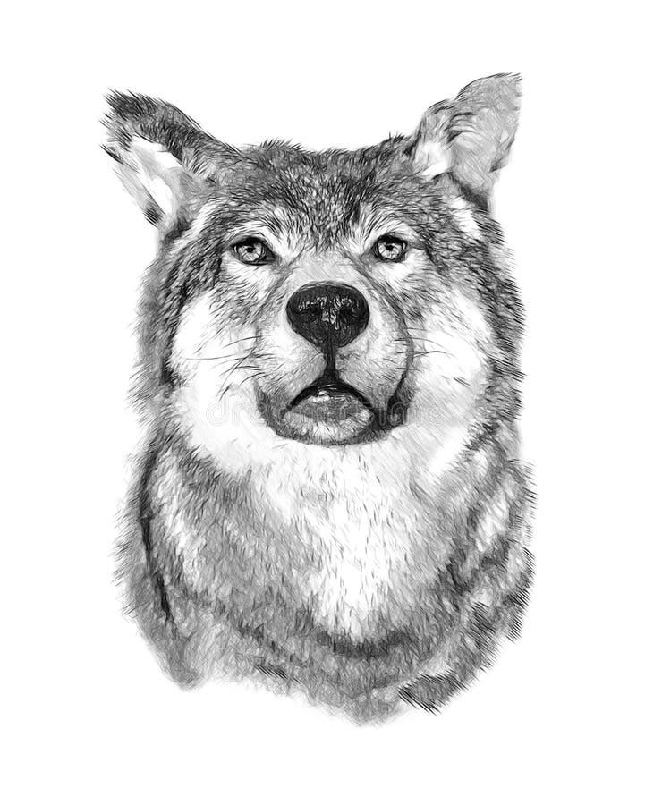 Wolf op Witte Achtergrond De illustratie trekt binnen stock afbeeldingen