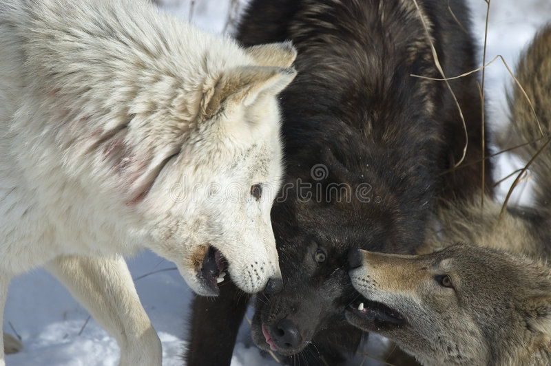 Wolf pack stock image