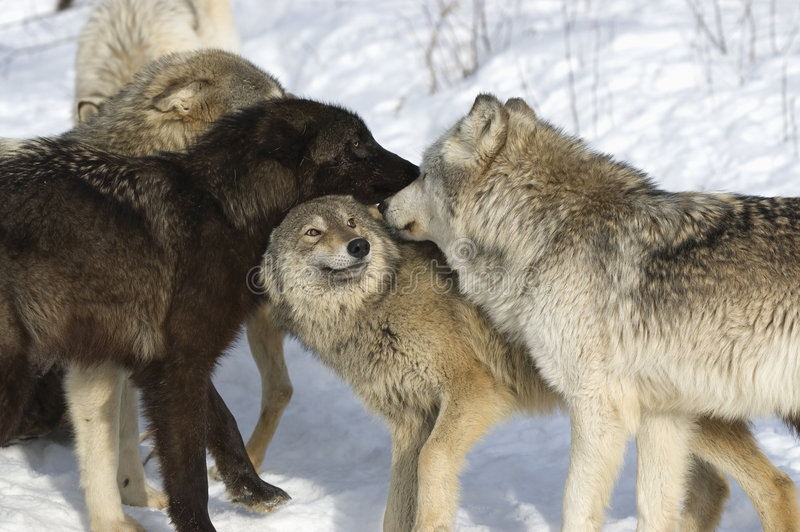 Wolf pack royalty free stock photography