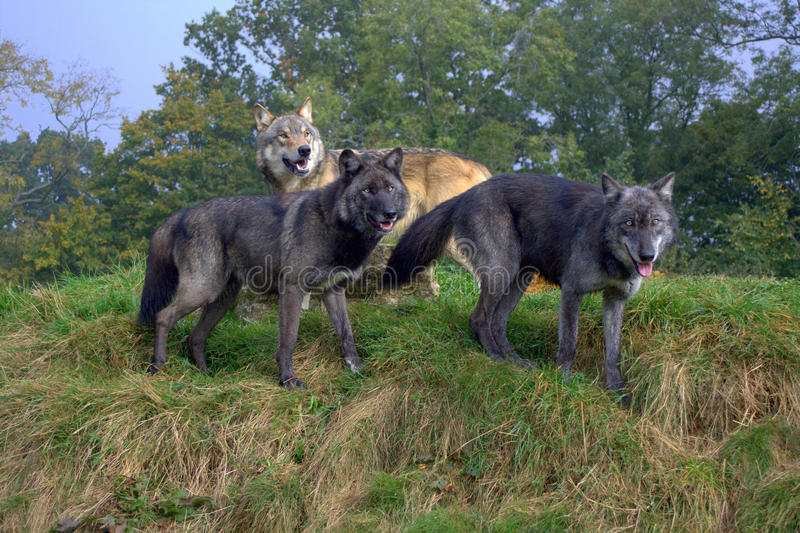 Wolf Pack image libre de droits